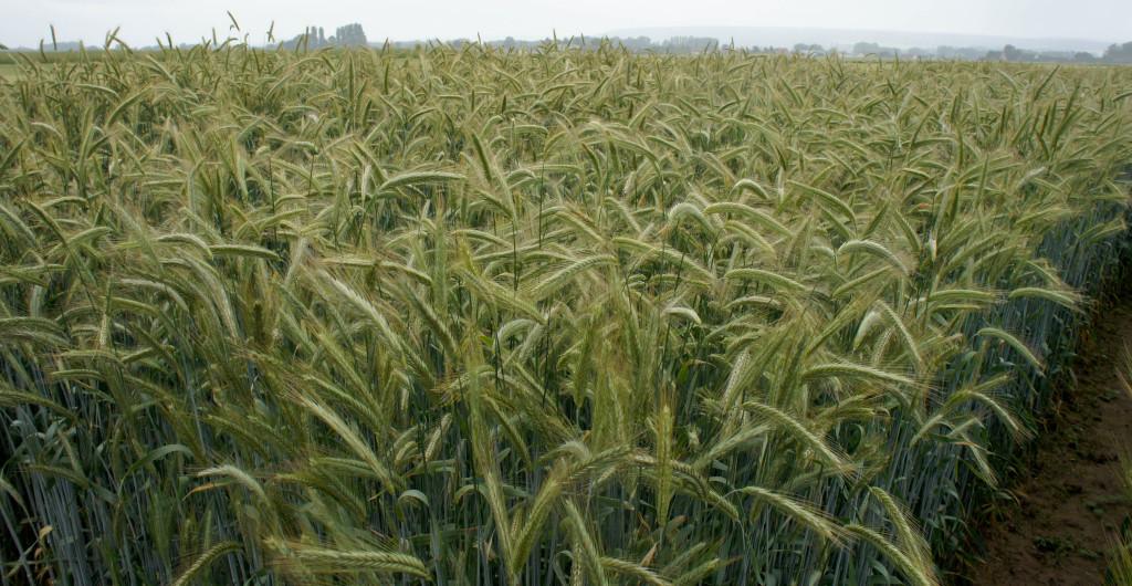 Le Seigle se distingue nettement du blé : cette céréale rustique produit des plants plus hauts et vigoureux.